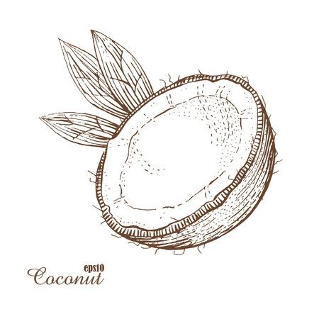 Coco. Estilo de grabado Dibujado a mano dibujo nogal. Ilustración vectorial La imagen aislada de la vendimia en el fondo blanco. Foto de archivo - 61116094