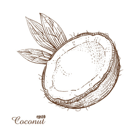 Coconut. Woodcut style. Hand drawn sketch walnut. Vector illustration. The isolated vintage image on white background.