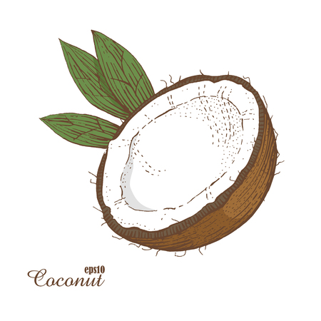 Coconut. Woodcut style. Hand drawn sketch walnut. Color vector illustration. The isolated vintage image on white background.