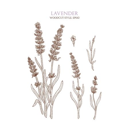an inflorescence: Botanical illustration of lavender on white background. Vector hand-drawn sketch in woodcut style with flower and inflorescence. Natural organic flower. Vintage collection of medical herbs and plants.
