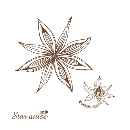 scratchboard: Star anise. Vector botanical illustration in woodcut style. Spices. The isolated vintage image on white background. Hand-drawn sketch.