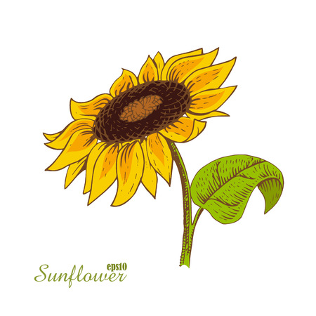 sunflower isolated: Vector illustration of colorful sunflower isolated on white background. Hand-drawn a sketch in woodcut style.