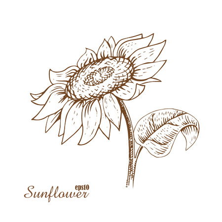 sunflower drawing: Sunflower.  Hand-drawn a sketch in woodcut style. Contour drawing with hatching. The isolated vintage image on white background.
