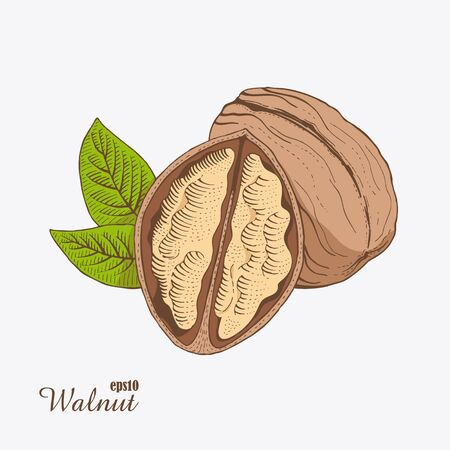 Walnut. Woodcut style. Hand drawn sketch. Color vector illustration.