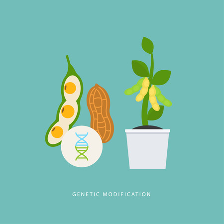 Genetic modification. Vector concept about genetic crossing soybean and peanuts. GMO product. Perfect for agricultural or scientific brochures, infographic, other materials.