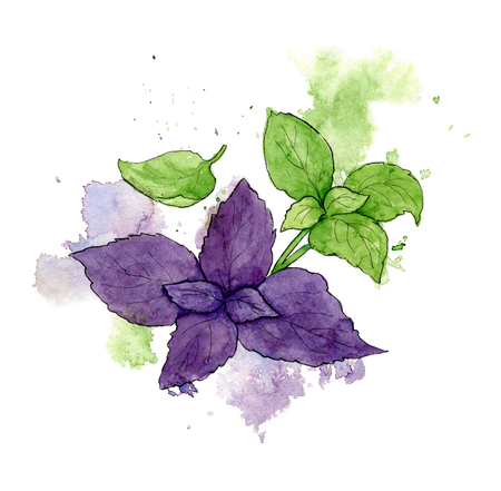 Watercolor illustration of the green and red basil. Hand drawn a sketch with splashes and spots.