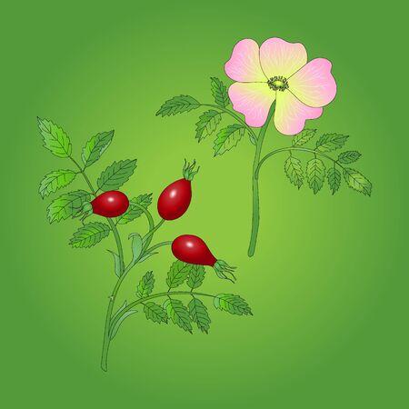 dog rose: Dog rose berries with flower