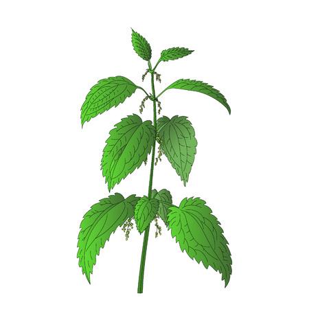 白い背景に分離されたイラクサ植物