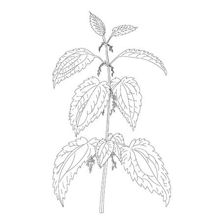 Nettle plant isolated on white background Illustration