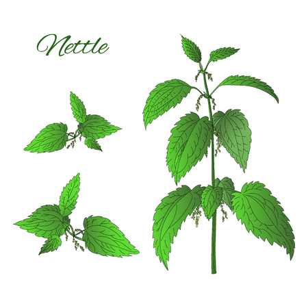 Nettle plant isolated on white background Vectores