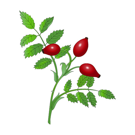 red berries: Rosehip branch with red berries