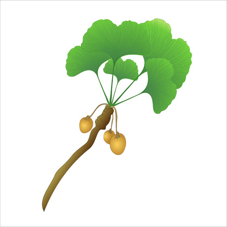 ginkgo: ginkgo tree branch with fruits