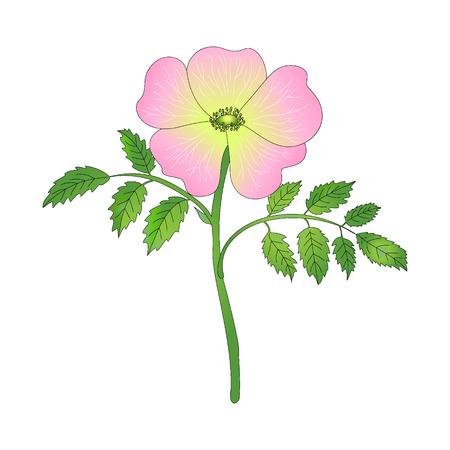 dog rose: Dog rose flower