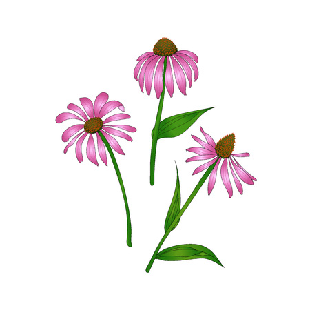 purpurea: Echinacea purpurea on a white background