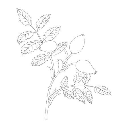 frutos rojos: Rosehip branch with berries