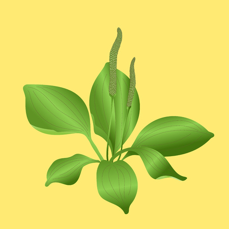 plantain: Plantain isolated on yellow background Illustration