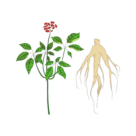 traditional chinese medicine: Panax ginseng