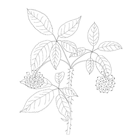 thorn bush: Branch of Eleutherococcus.Vector illustration of medicinal plant
