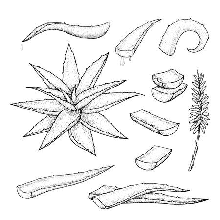 vera: Aloe vera hand drawn set. Vector illustration