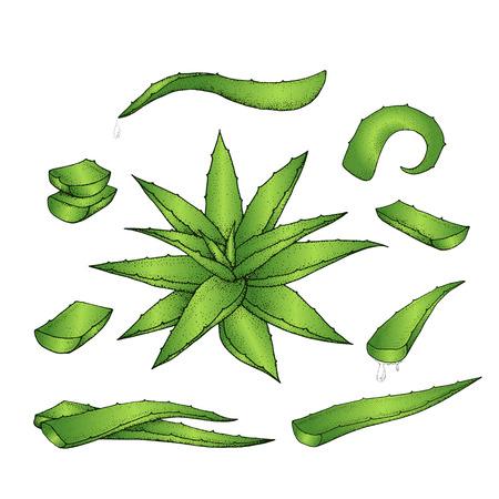 prickly: Aloe vera hand drawn set. Vector illustration