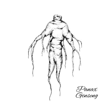 Vector hand drawn illustration of Panax Ginseng root.