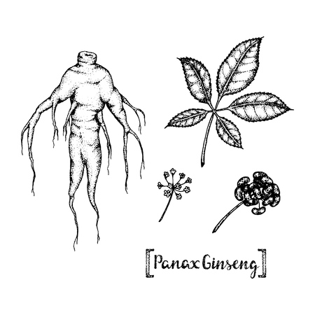 asian gardening: Vector hand drawn illustration of Panax Ginseng.Root, leaf, berry, flower.