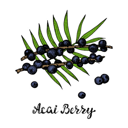 Acai palm leaf and berry fruit. Vector hand drawing sketch illustration.Organic healthy food.