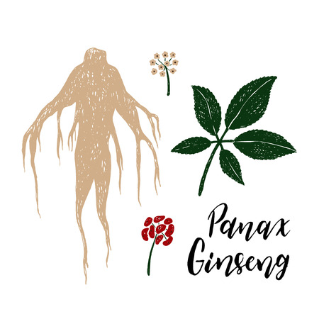 Vector hand drawn illustration of Panax Ginseng.Root, leaf, berry, flower.