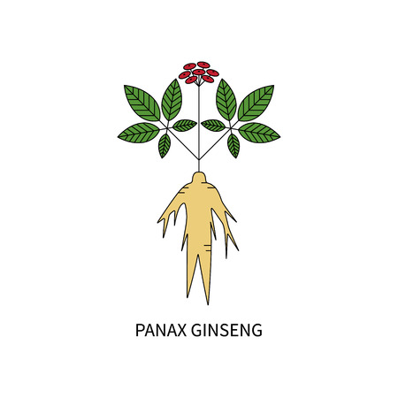 oriental medicine: Panax Ginseng isolated on white background vector illustration in line style.
