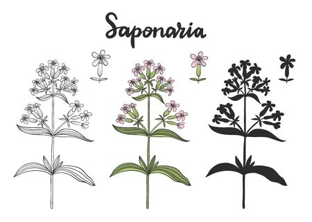Set of Saponaria officinalis (soapwort) isolated on white background vector illustration.