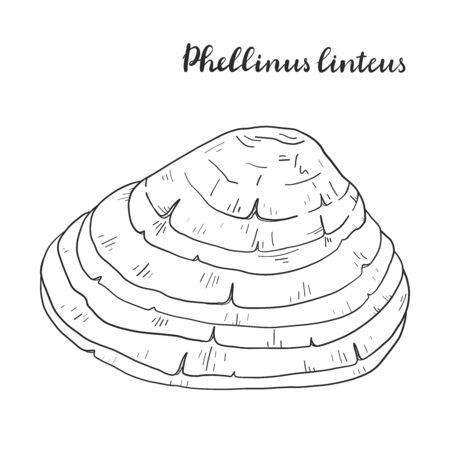 Phellinus linteus isolated on white background vector illustration. Иллюстрация