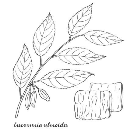 Eucommia ulmoides (Hardy Rubber Tree) isolated on white background vector illustration. Medicinal plant.