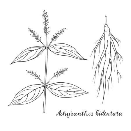 Achyranthes bidentata isolated on white background vector illustration. Medicinal plant.