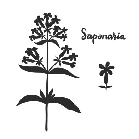 Saponaria officinalis (soapwort) isolated on white background vector illustration.