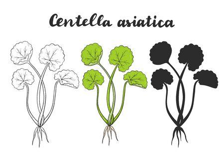 Set of Centella asiatica known as Gotu Kola.  Vector illustration. Medicinal plant.
