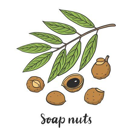 Sapindus mukorossi (soap nuts, soapberry, washnut) isolated on white background vector illustration. Medicinal plant.