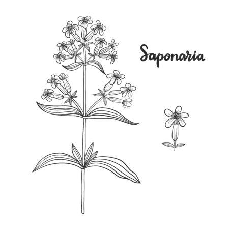 Saponaria officinalis (Saponaire) isolé sur illustration vectorielle fond blanc.