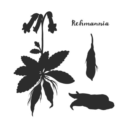 Rehmannia glutinosa (Sheng Di huang) isolated on white background vector illustration. Medicinal plant.