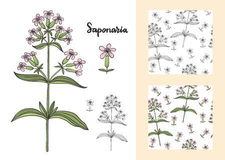 Ensemble de Saponaria officinalis (Saponaire) isolé sur illustration vectorielle fond blanc. Vecteurs