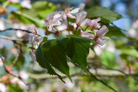 Sakura Cerasus sargentii Stock Photo