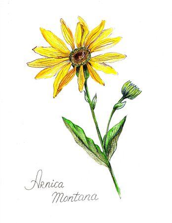 Mountain arnica pencil drawn. Illustration of yellow flower