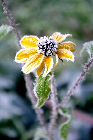 Yellow flower with hoarfrost. Coneflowers in the winter time, morning. Gardening, plants.