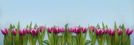 Banner with pink tulips on blue background. Spring time. Women day.