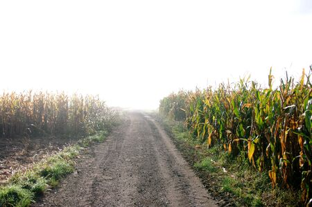 Road corn field, early morning light, autumn season,