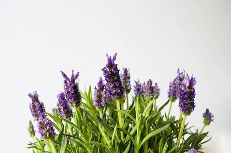 Lavender flowers plant, bush, blooming, violet, herbal copy space for text Standard-Bild