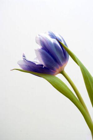 Blue tulip on a white background. Fresh flower, spring time, gardening.