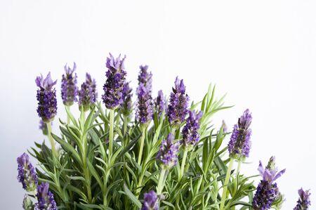 Lavender flower buds, violet petals, close up. Copy space text.