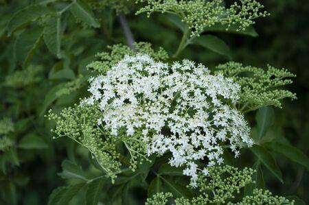 The elderflower, sambucus nigra tree. Healthy eco herbal, natural body care. Ingredient for syrup. Naturopathy. Alternative medecine. Фото со стока