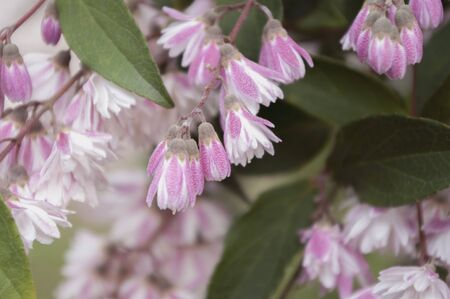 Deutzia pink flower blooming, Spring time.Natural background. Selective focus. Reklamní fotografie - 148276923
