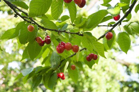 Cherry tree in the home garden. Fresh fruit harvest, seasonal food. Red berries.